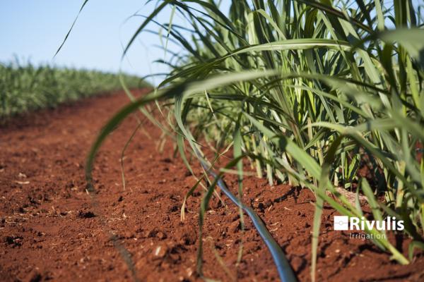Tưới mía sử dụng dây tưới nhỏ giọt rải dọc luống Rivulis D5000