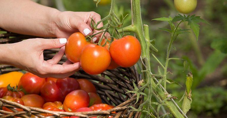Đáp ứng nhu cầu tăng trưởng cà chua