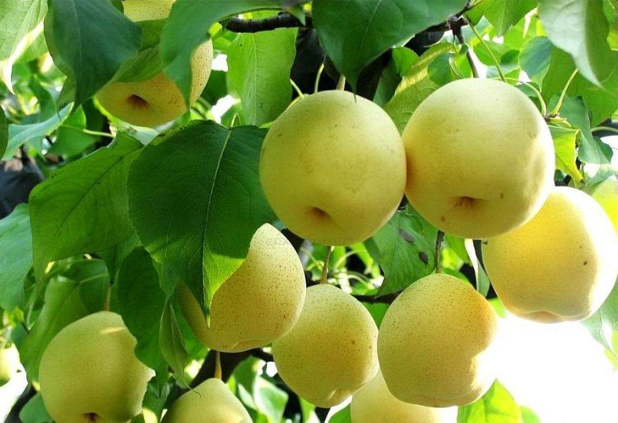 cây lê vàng