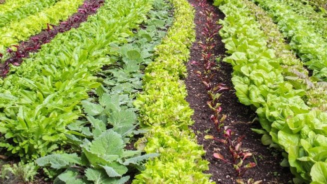 Rows of various leafy green vegetables, including lettuce