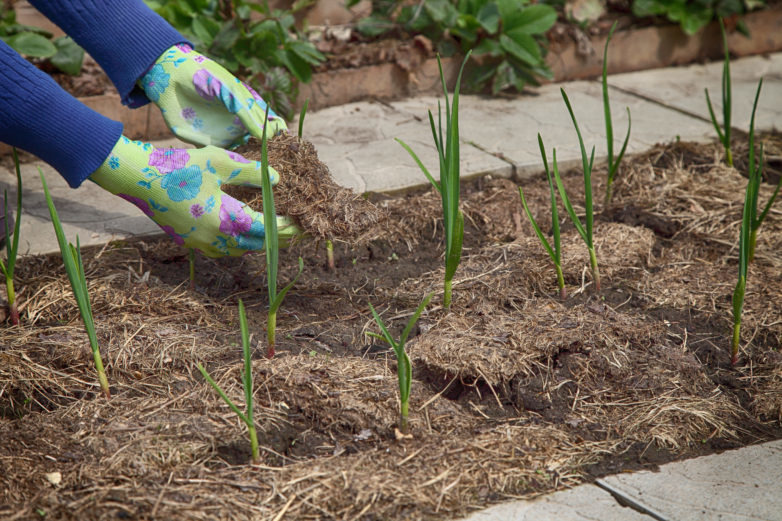 Garlic grows in the garden under mulch from dry grass. The gardener in gloves is laying the raw material for plants in organic farming.